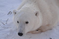 Oso polar joven Foto de archivo
