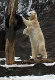 Oso polar, maritimus del Ursus Foto de archivo libre de regalías