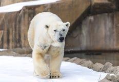 Oso polar - maritimus del Ursus Fotografía de archivo libre de regalías