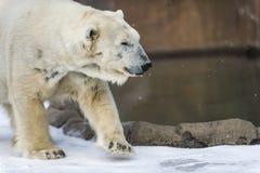 Oso polar - maritimus del Ursus Imagen de archivo