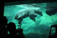 Oso polar (maritimus del Ursus) Fotografía de archivo libre de regalías