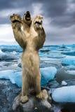 Oso polar (maritimus del Ursus) foto de archivo