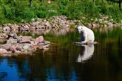 Oso polar (maritimus del Ursus) Imagen de archivo libre de regalías