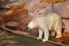 Oso polar - maritimus del Ursus Imagen de archivo libre de regalías