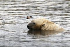 Oso polar (maritimus del Ursus) Imagenes de archivo