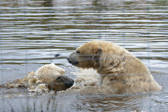 Oso polar (maritimus del Ursus) Imágenes de archivo libres de regalías