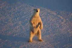 Oso polar, maritimus del Ursus que mira para arriba del mar de Beaufort fotografía de archivo libre de regalías