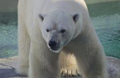 Oso polar masculino, Quebec - Canadá Foto de archivo