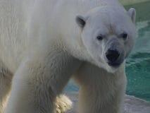 Oso polar masculino, Quebec - Canadá Fotos de archivo