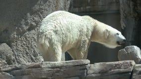 Oso polar perezoso almacen de metraje de vídeo