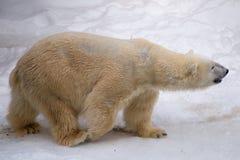 Oso polar que camina alrededor de jaula con la piel blanca foto de archivo libre de regalías