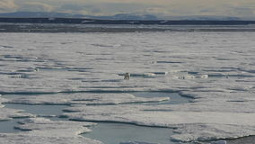 Oso polar que camina en el hielo marino almacen de metraje de vídeo
