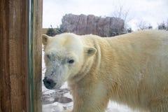 Oso polar que camina en un parque zool?gico en invierno foto de archivo