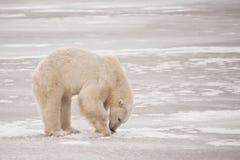 Oso polar que cava para la comida en el hielo Imagen de archivo