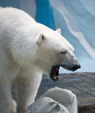 Oso polar que juega con el bote plástico Fotografía de archivo