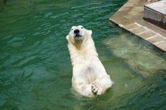 Oso polar que juega en agua Foto de archivo