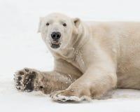 Oso polar que juega en nieve Imagen de archivo