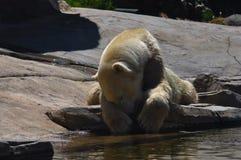 Oso polar que miente en la roca imagen de archivo