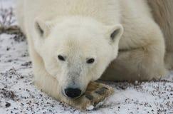 Oso polar que miente en nieve en la tundra canadá Parque nacional de Churchill Imagen de archivo libre de regalías