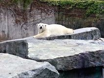Oso polar que miente en parque zoológico imágenes de archivo libres de regalías