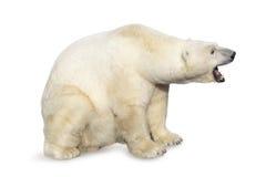 Oso polar que ruge Imágenes de archivo libres de regalías
