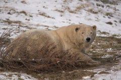Oso polar que se acuesta Imagen de archivo