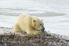 Oso polar que se lame la pata en el ártico Fotografía de archivo
