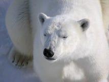 Oso polar que se reclina pacífico en el amanecer Fotos de archivo libres de regalías