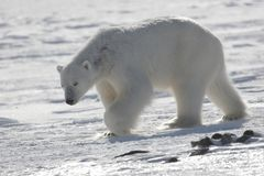 Oso polar, rey del ártico Fotos de archivo libres de regalías