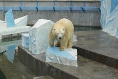 Oso polar ruso en un parque zoológico de Novosibirsk Imagenes de archivo