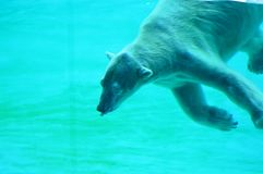 Oso polar subacuático Imágenes de archivo libres de regalías