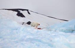 Oso polar y gaviota de marfil imágenes de archivo libres de regalías
