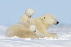 Oso polar y x28; Maritimus& x29 del Ursus; con los cachorros Fotografía de archivo