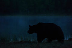 Oso que camina en la noche Imagen de archivo libre de regalías