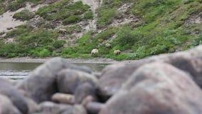Oso y cachorros en el río almacen de video
