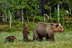 Oso y Cubs de la madre Imagen de archivo libre de regalías