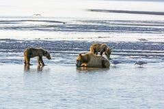 Oso y Cubs de la madre en un plano de marea imagen de archivo libre de regalías