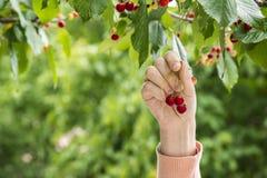 Osob zbierackie wiśnie od drzewa Zdjęcie Stock