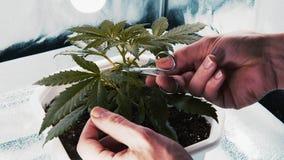 Osoba arymażu liście medyczna marihuany roślina Marihuany rośliny rosnąć salowy zbiory wideo