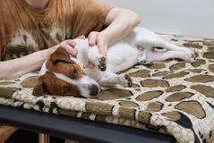 Osoba robi psiemu masażowi Obrazy Stock