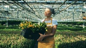 Osoba trzyma kosz z tulipanami podczas gdy chodzący w dużej szklarni zdjęcie wideo
