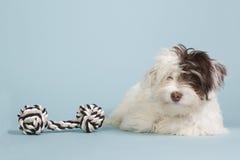 Osoba z wyżu demograficznego szczeniak z psią zabawką Zdjęcia Royalty Free