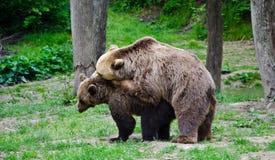 osos foto de archivo