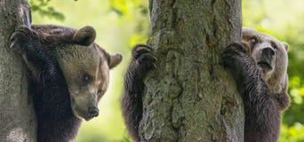 osos fotografía de archivo libre de regalías