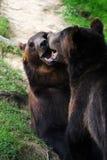 osos fotos de archivo libres de regalías