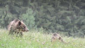 Osos de Brown, Transilvania, Rumania almacen de metraje de vídeo