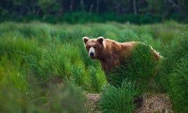Oso de Grizly en Alaska Foto de archivo