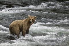 Osos de Katmai Brown; Caídas de los arroyos; Alaska; EE.UU. Fotos de archivo libres de regalías