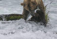 Osos de Katmai Brown; Caídas de los arroyos; Alaska; EE.UU. Foto de archivo