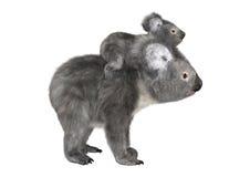 Osos de koala australianos imagen de archivo libre de regalías